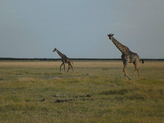 Lake Manyara Wildlife Lodge: Giraffe at Manyara National Park