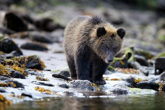 Khutzeymateen Grizzly Bear Sanctuary: Youngster at the beach