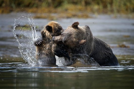 Khutzeymateen Grizzly Bear Sanctuary: Fighting with Mom