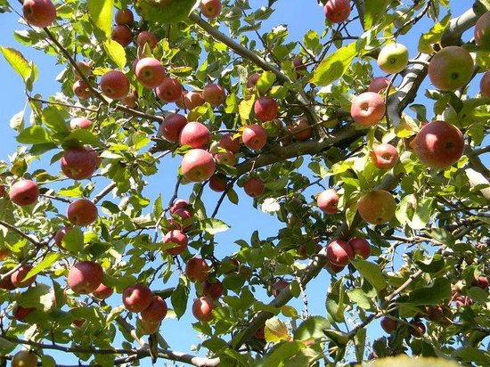 Apples at Sky Top Orchard