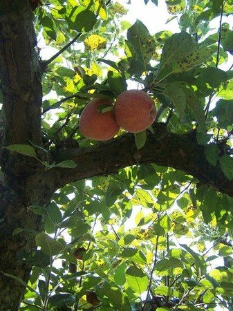 Apples on tree at Johnson's Orchards