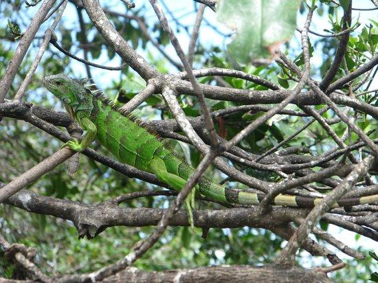 La Ventanilla: Una foto del arbol de las iguanas