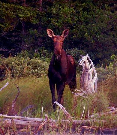 Northern Pride Lodge & Campground : moose safari