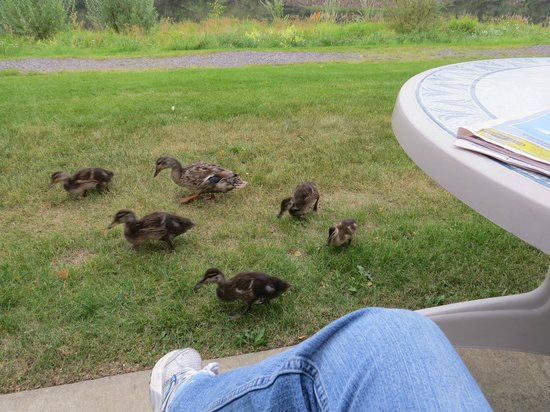 River's Edge Resort : Ducks coming for a visit at the cottage with a river view
