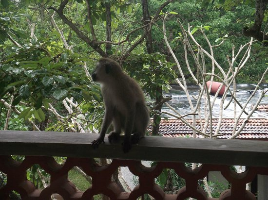 Diani Sea Lodge: monkey on our balcony