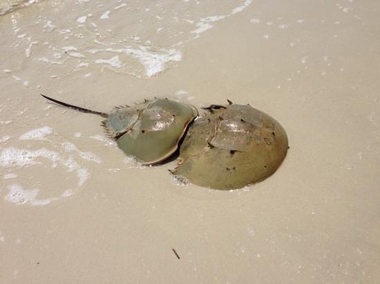 Summer Beach Lodge: 満月の日の満潮時、カブトガニのつがいが目の前のビーチに産卵に来ました! \(^o^)/