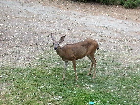 Best Western Plus Yosemite Gateway Inn : Deer feeding in the morning