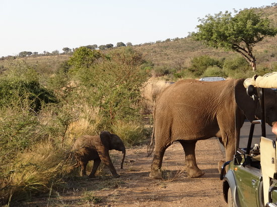 Pilanesberg National Park: Elephants crossing in front of 4WD