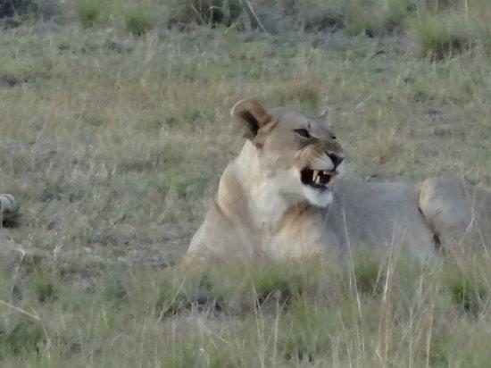Pilanesberg National Park: A  pride of lions