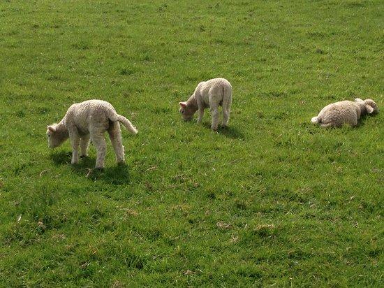 Cornwall Park : かわいい子羊たち