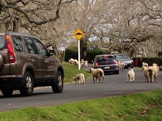 Parque Cornwall: 羊が渋滞をひきおこしています