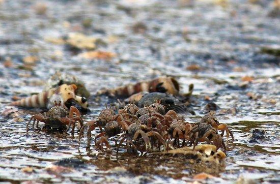 Islanda Hideaway Resort: Mangrove crabs