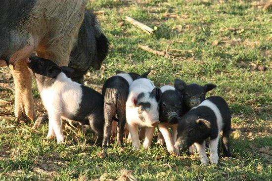 Agriturismo La Colombaia: maialini cinta senese al pascolo