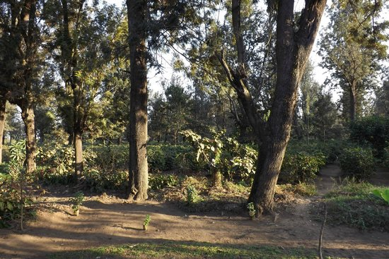 Arusha Coffee Lodge : Coffee forest