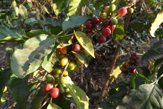 Coffee beans - Picture of Elewana Arusha Coffee Lodge - Tripadvisor