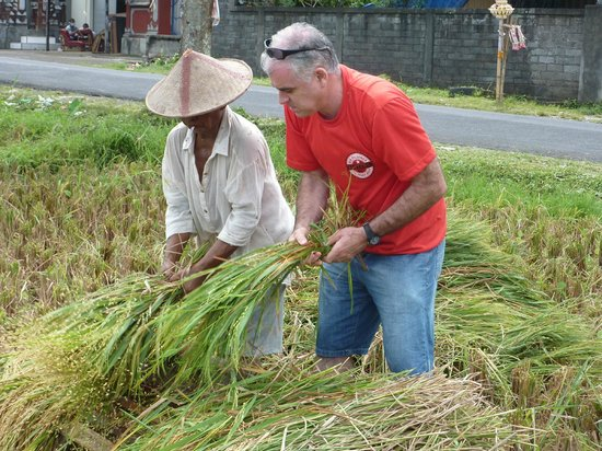The Bali Driver - Private Tours: Thrashing rice the traditional way in a remote area of Bali