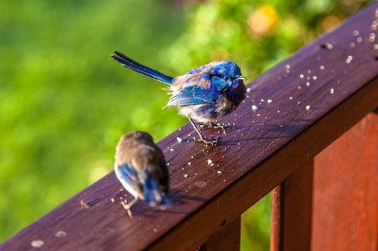 Clover Cottage Country Retreat: Blue Wrens