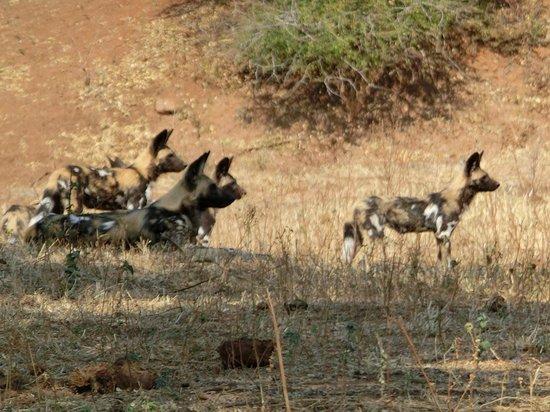Singita Pamushana Lodge: Wild Dogs