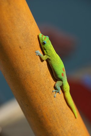 Hale Ho'ola B&B: One of our Geko friends!