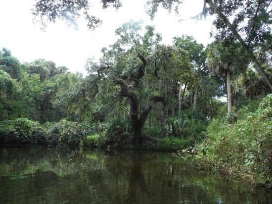 Karen's Kayaks : Beautiful old tree