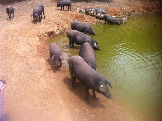 La Posada de San Marcos: Pigs