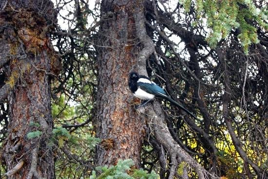 Savage River: magpies in the campground