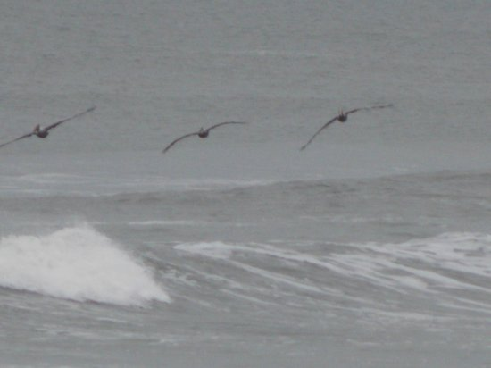 Pelicans fishing picture of topsail island surf city for Topsail island fishing