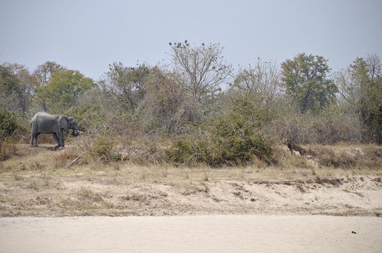Nsolo Bush Camp - Norman Carr Safaris: Mexican stand off between elephant and lion!!