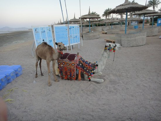 lti Tropicana Grand Azure: Camels on the Beach