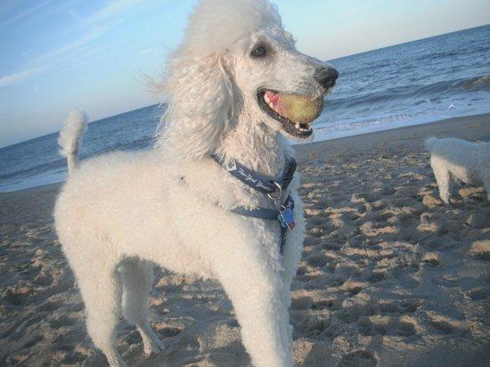 My Poodles Loves Dewey Beach!