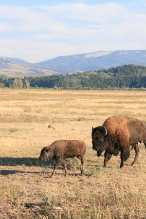 Wildlife Expeditions of Teton Science Schools: Bison, bison everywhere!