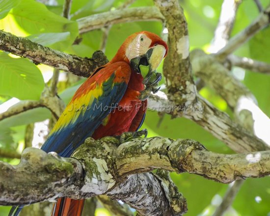 Campanario Biological Station: Scarlet Macaw