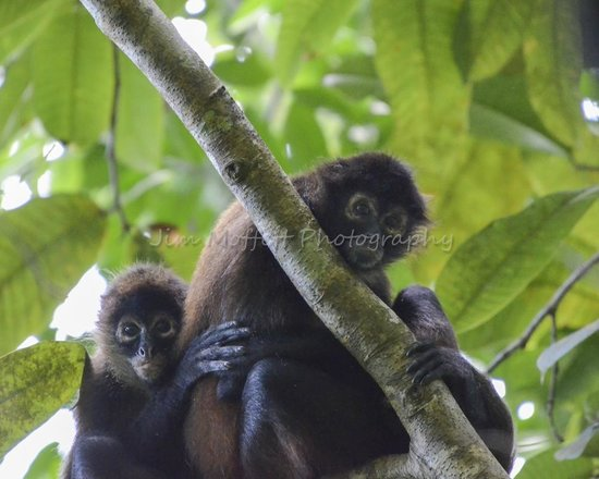 Campanario Biological Station: Spider Monkeys
