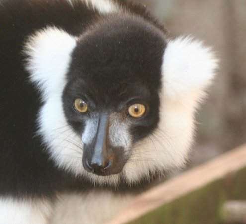 "Tropiquaria Zoo: black and white ruffed lemur ""Blackhead"""