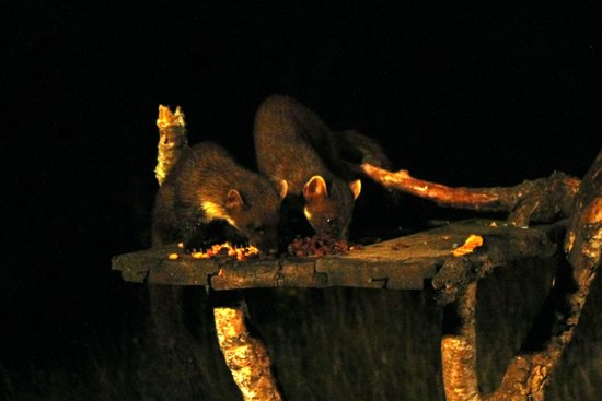 Speyside Wildlife: Pine Martens, mother and kit, 27th August 2013