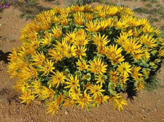 Springbok, Sudafrica: Flowers at Goegap
