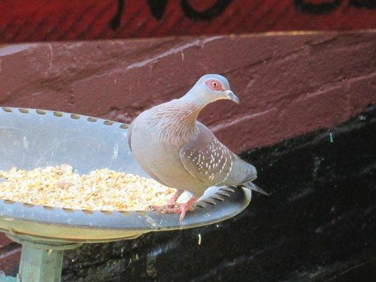 Sanita's : Enjoy the rock pigeon eating at Sanitas
