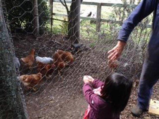 Lillydale Farmstay: Feeding chickens at Lillydale farm