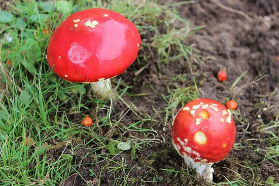 Loch Ness Highland Cottages: Toadstools in the forest behind the cottage.