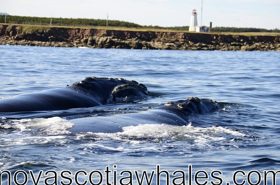 Cheticamp, Canada: two right whales
