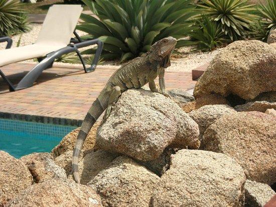 Camacuri Apartments Aruba: leguaan