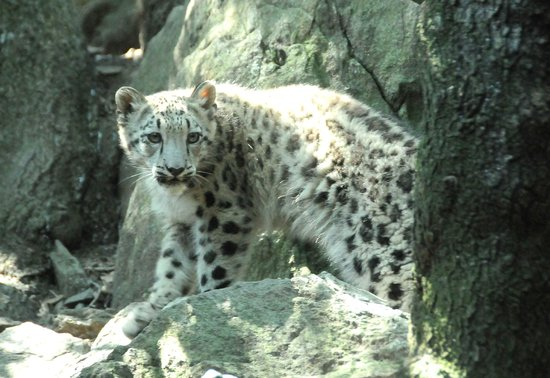 Bronx Zoo Snow Leopard - Best Zoo In The World 2018