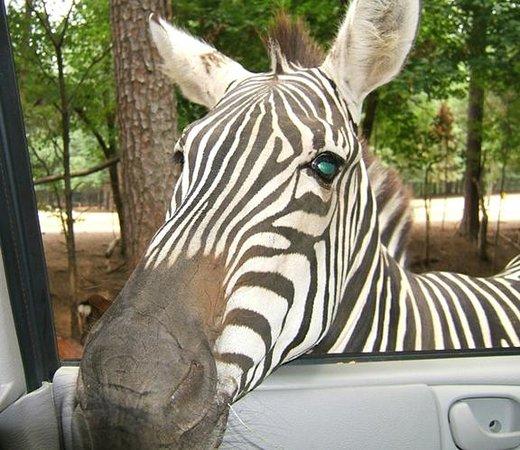 Harmony Park Safari: Zebra