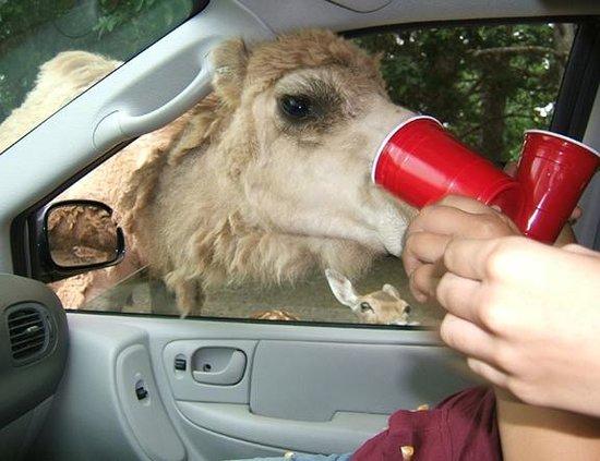 Harmony Park Safari: Camel