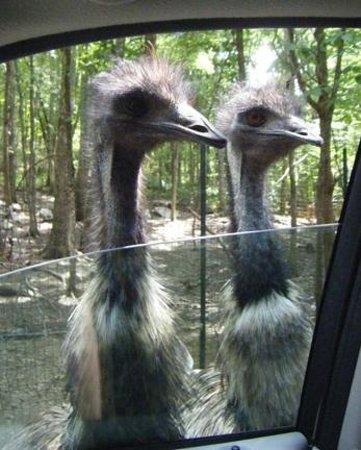 Harmony Park Safari: Emus