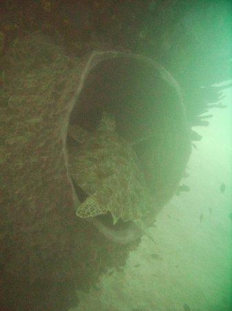 Frederiksted Pier: Turtle in large barrel sponge, under pier