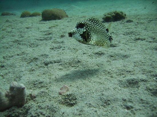 Frederiksted Pier: little boxfish, under the pier