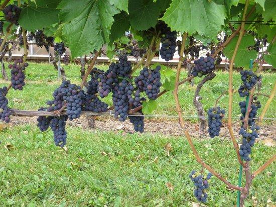 Le Caveau Restaurant : grapes on vineyard tour