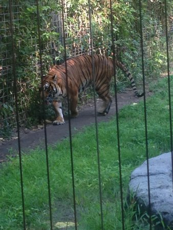 Ellen Trout Zoo: Who doesn't love a tiger?