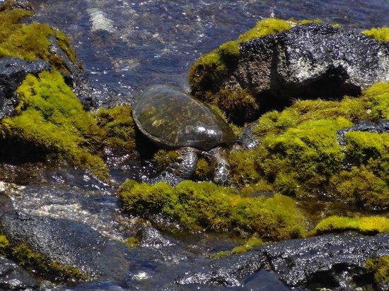 Hale Kona Kai Condominiums: Sea turtle